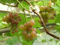 Trossen druiven