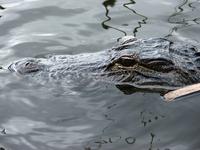 Mr. Aligator