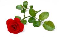 Red Rose 25