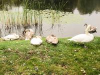 swans at lakeside 2