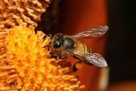 Wild Honey Bee(s) 7