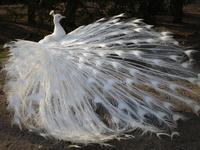 White Peacock 3