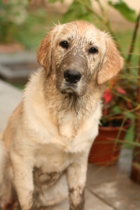 muddy golden retriver 2
