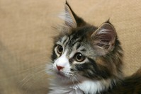 maine coon cat mercy