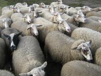 Sheeps 1