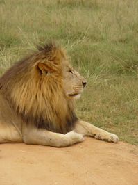 Lion Front Side