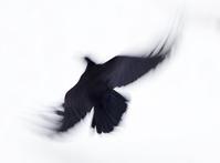black raven 1