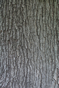 MAPLE TREE TRUNK WITHOUT FLASH
