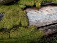 Moss on a dead tree