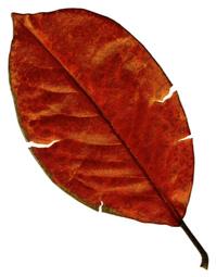 Pastel Leaf