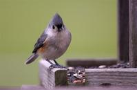 Song Birds 1