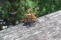 Grasshopper on bar