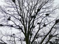 Herons's nests