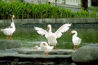 Swan Wings