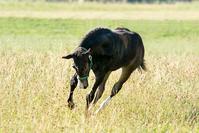 Quarter Horse Foal running