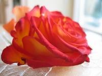 Rose II 4