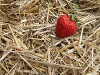 Strawberry in field