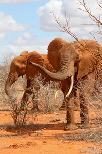 Waving Elephant