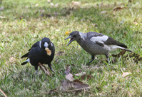 Australian Magpie 3