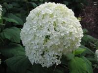 White Hydrangea 1