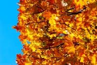 Autumn tree, October sky