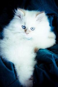 Beautiful Himalayan Kitten! 2