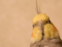 Cockatiel Head shot 1