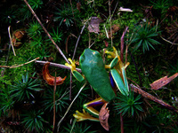 Graceful Tree Frog 3