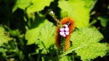 Weird and Hairy Caterpillar