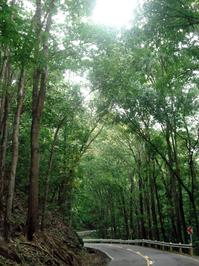 Mahogany Trees Bohol