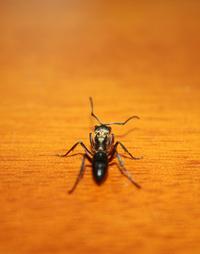 Shiny Ant 2