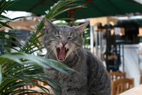 Yawning cat 2