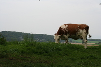 Cow 12