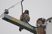 Hawk on a Pole
