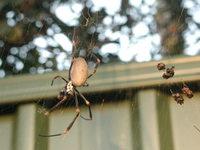 Spider with larder