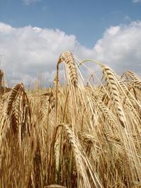 Grain field nr1