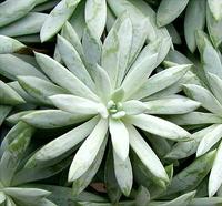 succulant plant