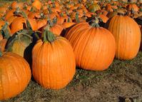 All size of pumpkins