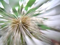 dandelion 2