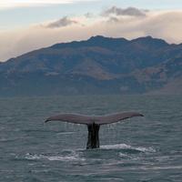 Sperm whale dives 4
