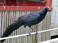 Blackbird Thief