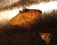 Butterflies in the night