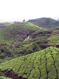 Tea gardens 9