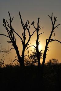 vultures an dawn