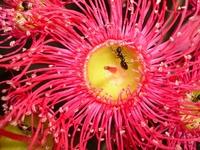 Eucalypt Flower 2