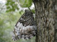 Butterflie 3