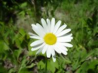 [ white daisy ]