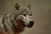 wolf00 1