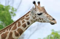 Giraffe_Heads Up