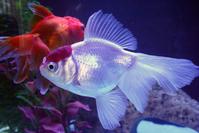 Goldfish Oranda 2